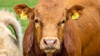 Maps: ICBF releases county-by-county breakdown of beef cow population