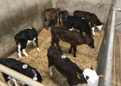 小牛贸易:在集市上,小牛要换手多少钱?