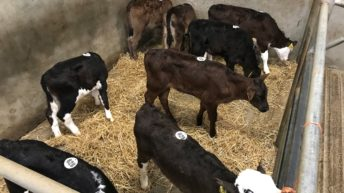 Calf trade: How much are calves changing hands for in the marts?