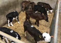CALF贸易:强大的小牛价格继续在MART上付款