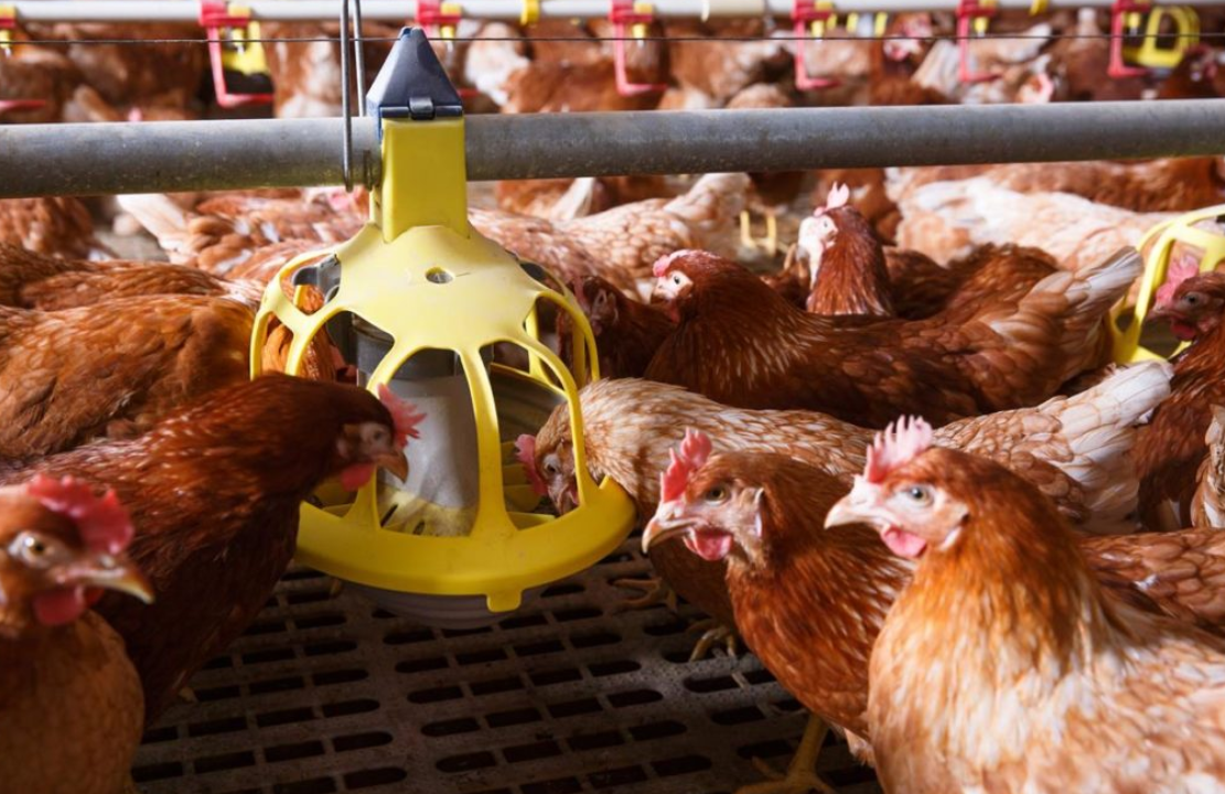 Warm weather brings concerns about increase in poultry red mite