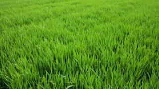 CROPS WATCH: Clean winter barley