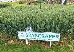 Skyscrapers of wheat and oilseed rape made of steel…what's new in crop varieties