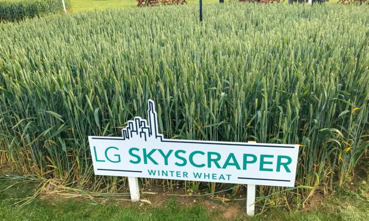 Skyscrapers of wheat and oilseed rape made of steel…what's new in crop varieties
