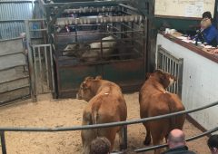 Pics and prices: Numbers back but buyers aplenty at Baltinglass Mart