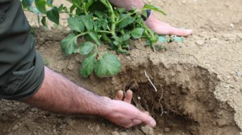 Irrigation now a priority for potato growers