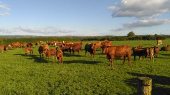 Suckler farm walk set to showcase Stabiliser breed