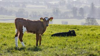 BVD rates fall 25% in Northern Ireland