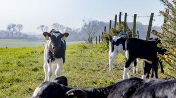 ICMSA responds to dairy calf-to-beef scheme criticisms