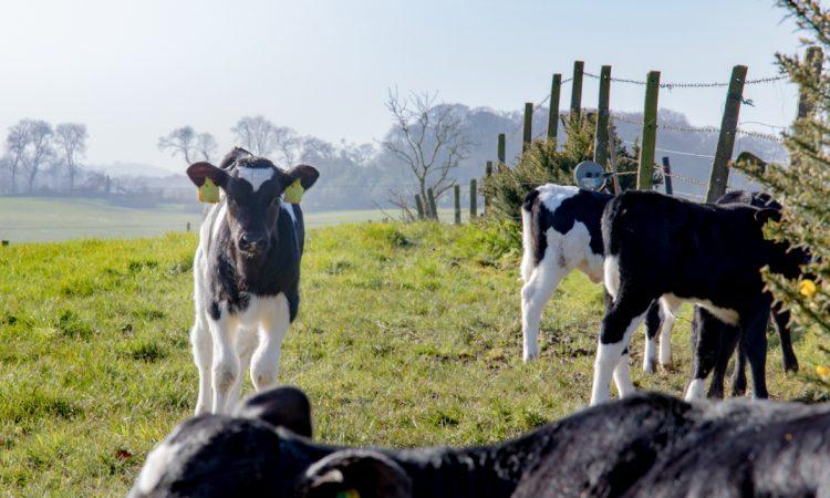 Gardai investigate 'malicious attack' after calf's tongue cut out
