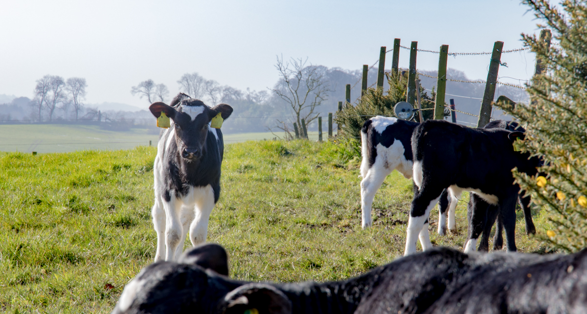 Growing profitability on a calf-to-beef farm in Co. Westmeath