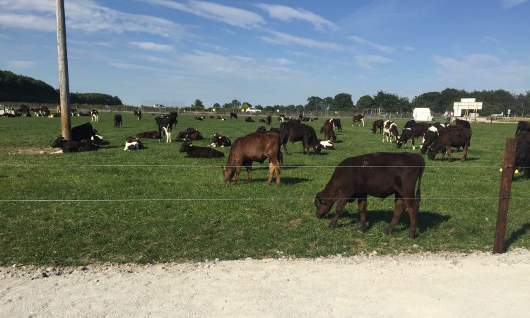 Introducing Grange's dairy calf-to-beef herd