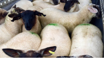 Sheep trade: Spring lamb quotes slashed further