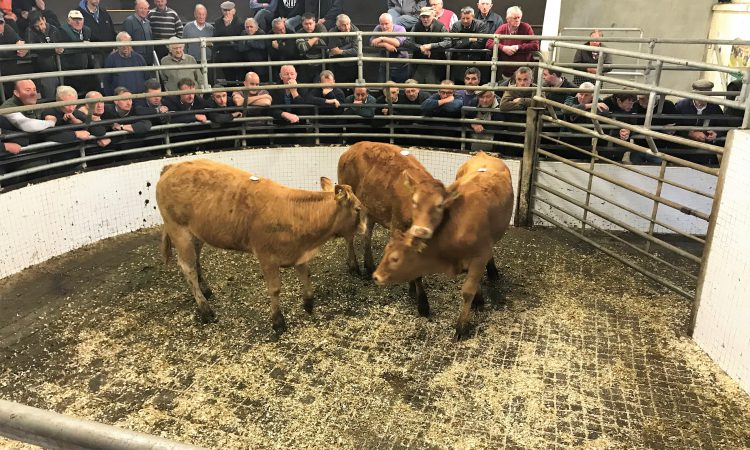 Mart trade: Lighter cattle take a hit, but quality lots hold firm