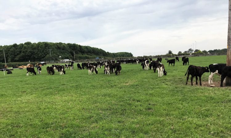 Dairy calf-to-beef: How much money can be saved by hitting targets?