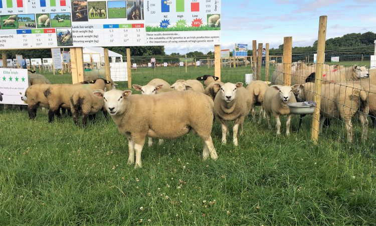 INZAC flock: New Zealand lambs reach slaughter weights earlier