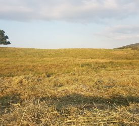 Grass management on beef farms during a prolonged dry spell