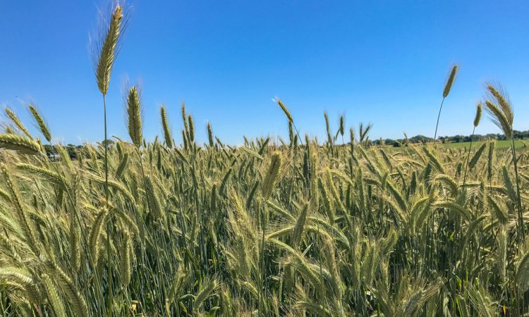 Forage rye: An option after maize?