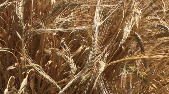 Grain price: Increase this week as harvest starts
