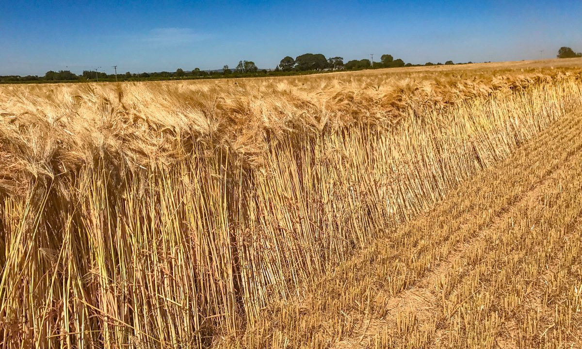 Harvest update: Farmers generally pleased with winter barley crops