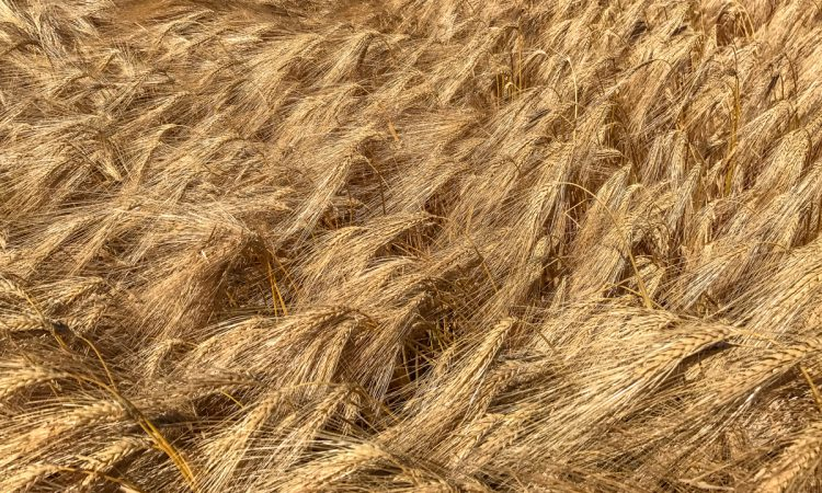 Dairygold grain prices welcomed by IFA