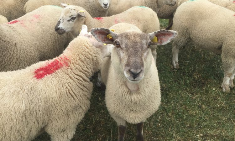 'It's all about numbers': Spring lamb trade continues to remain under pressure