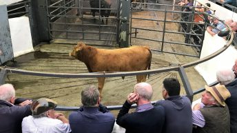 Pics and prices: Bulls popular, but heifers harder sold at Carnaross Mart