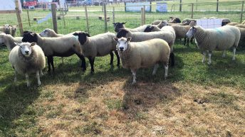 Attention turns to breeding for the INZAC flock