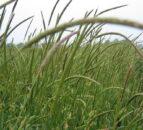 Beware of blackgrass in wildflower mixes
