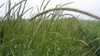 Don't ignore black grass…control it