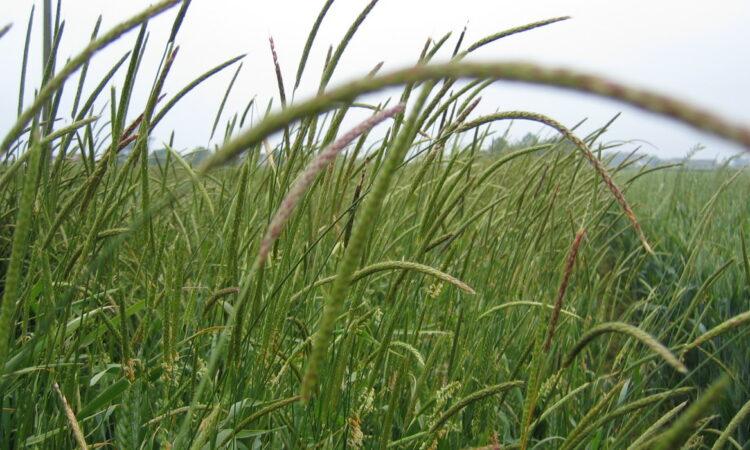Don't ignore black grass…control it