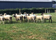 SheepNet: 'Sharing knowledge to improve ewe productivity'