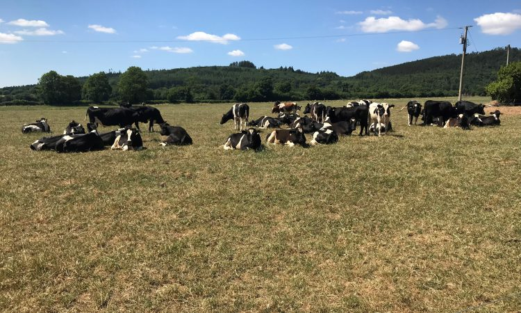 Are low grass covers exposing your herd to sudden death?