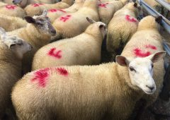 Sheep trade: Spring lamb price gaining momentum