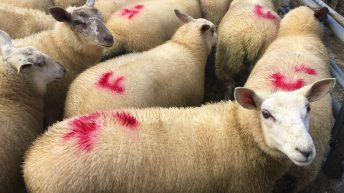 'Some sense' prevails regarding mandatory EID tagging of all sheep