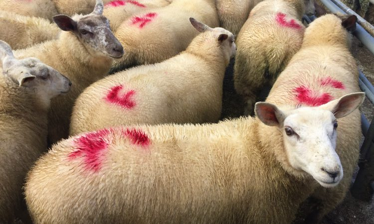 Strong supplies hamper spring lamb price increases