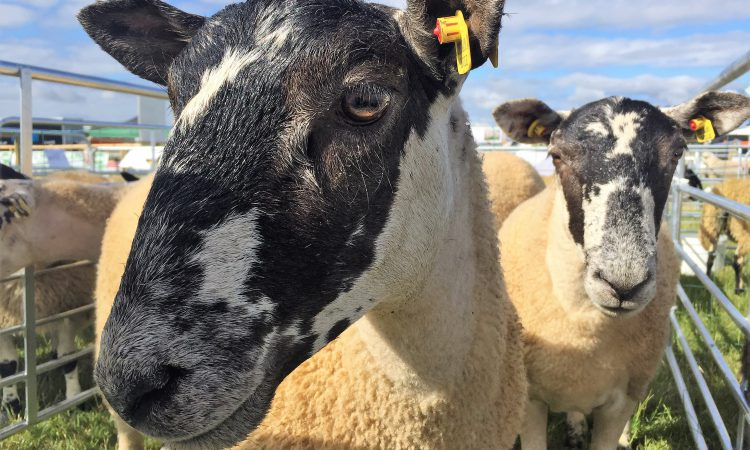 'Will EID give us a higher price for our lambs?'