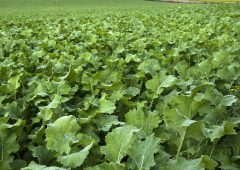 Fertiliser on forage crops…reduce rates when sown in August