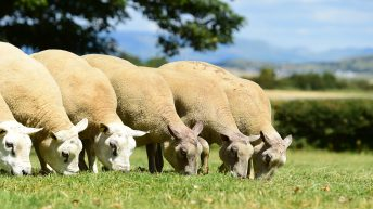 'Big Boy Ram Sale' targets commercially-driven farmers