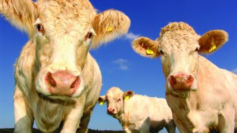 Future of feeding: Additives earmarked for cutting livestock emissions