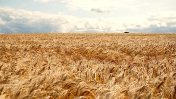 Is 'credit' due to merchants on grain prices?