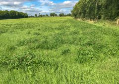 Could red clover fit into your tillage rotation?