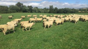 Sheep focus: Weaning an extra 350 lambs in Co. Wexford
