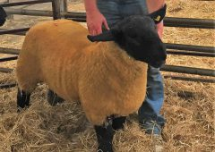 Sheep focus: 'Suffolk sheep have changed a lot and it's just like fashion'