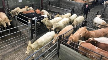 Pics and prices: Short-keep cattle in demand at Ballyjamesduff Mart