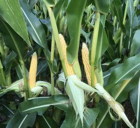 Record harvest on the cards for maize growers in Northern Ireland