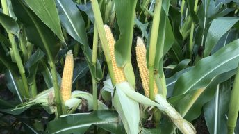 High-quality maize harvest set to start a week earlier than usual