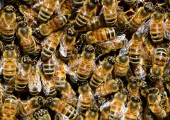 Canadian scientists breed better bees using 'animal husbandry'
