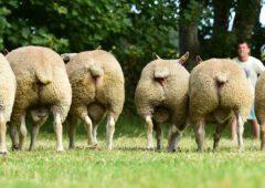 E-grade lamb makers prove popular a 'Big Boy Ram Sale'
