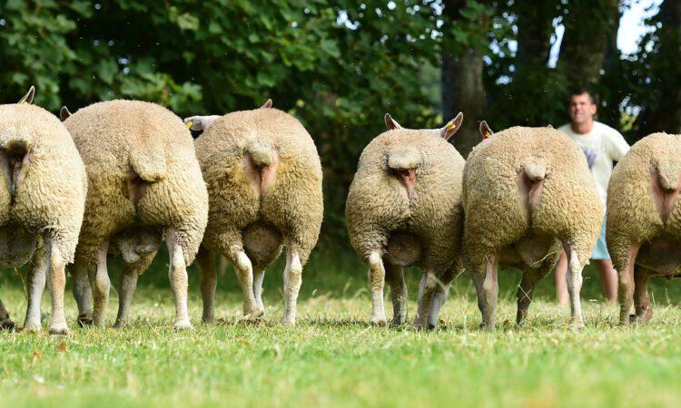 E-grade lamb makers prove popular at 'Big Boy Ram Sale'